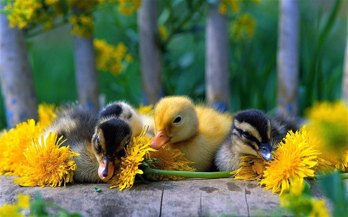 baby_ducks-Animal_Widescreen_Wallpaper_medium